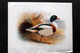 Charles Dixon & Whymper 1900 Antique Bird Print. Common Sheldrake